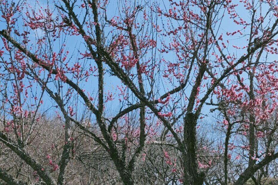 3月には梅林開園